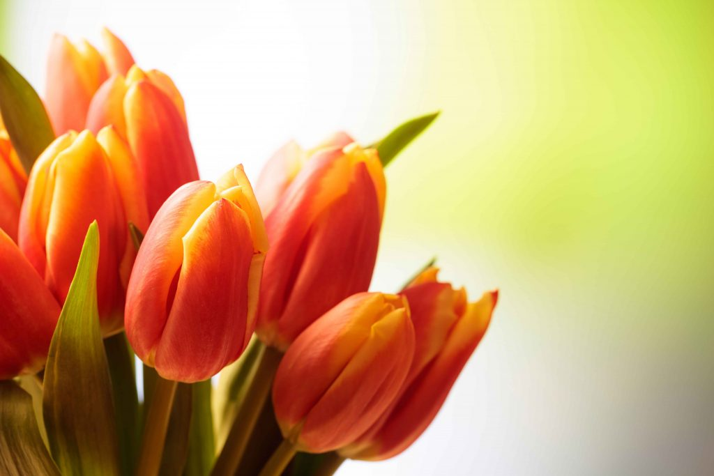 Image of Tranquility Skin Care Tulips